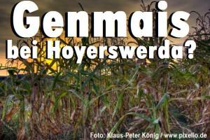 Geinmais bei Hoyerswerda?