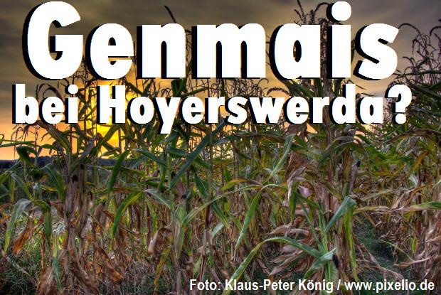 Genmais bei Hoyerswerda?